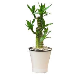 时来运转-桌面小富贵竹盆栽