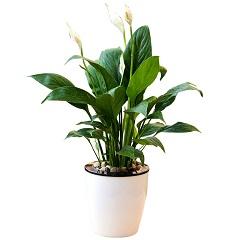 高洁-白掌小盆栽