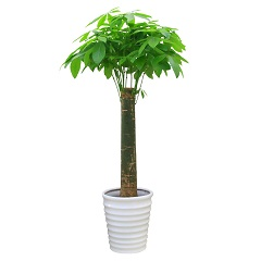 乔迁之喜-发财树大型盆栽