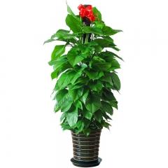 生机盎然-绿萝大型盆栽
