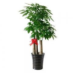 福气多多-发财树大型盆栽